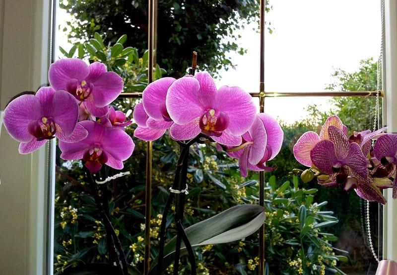 Ogni Quanto vanno innaffiate le Orchidee