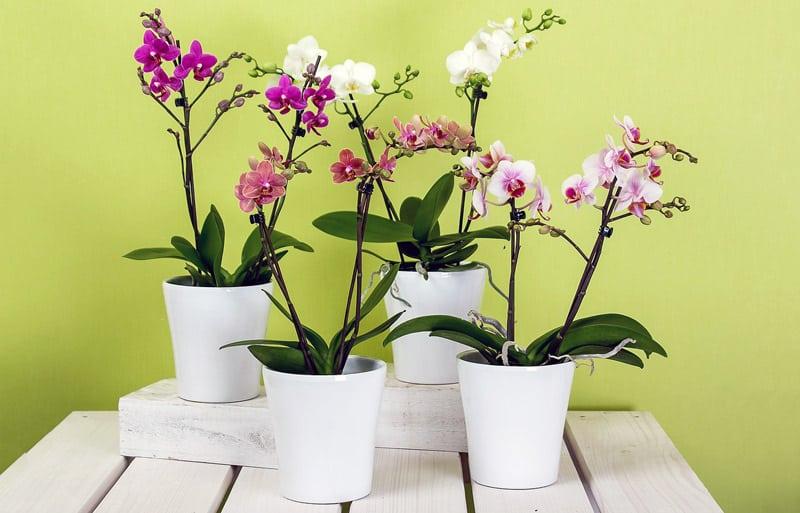 Ogni Quanto bisogna innaffiare le Orchidee