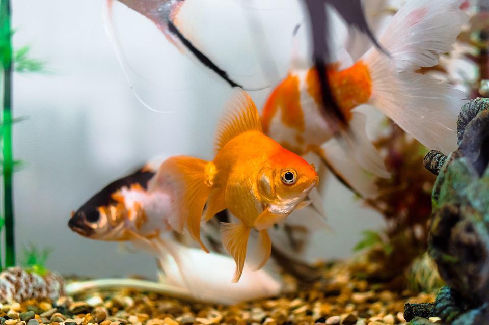 Ogni quanto mangiano i pesci rossi ?