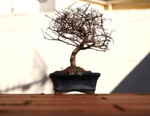 Ogni quanto innaffiare un bonsai