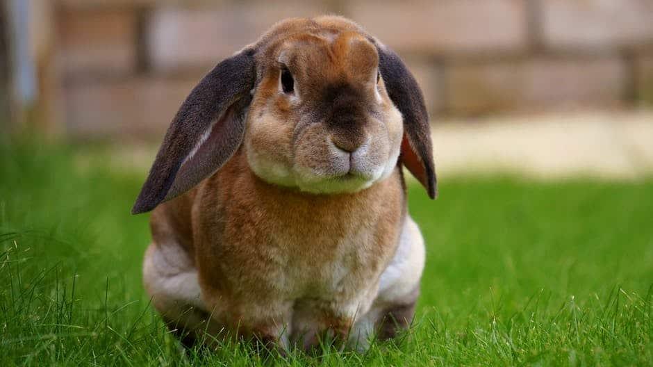 Ogni quanto si accoppiano i conigli : frequenza e calore