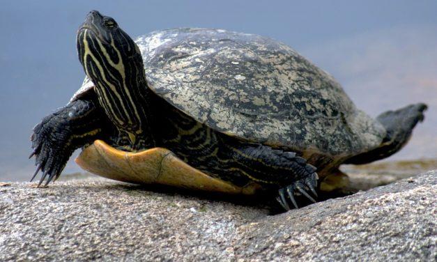 Ogni quanto mangiano le tartarughe