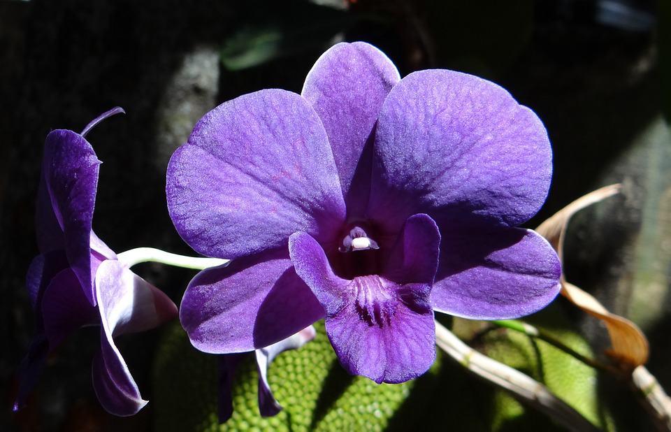 Ogni quanto concimare le orchidee